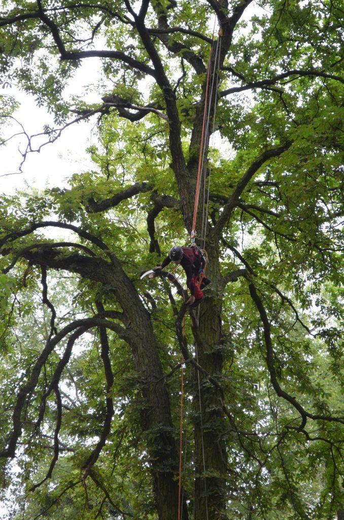 Arborysta zabezpieczony linami prowadzi prace pielęgnacyjne przy drzewie na wysokości