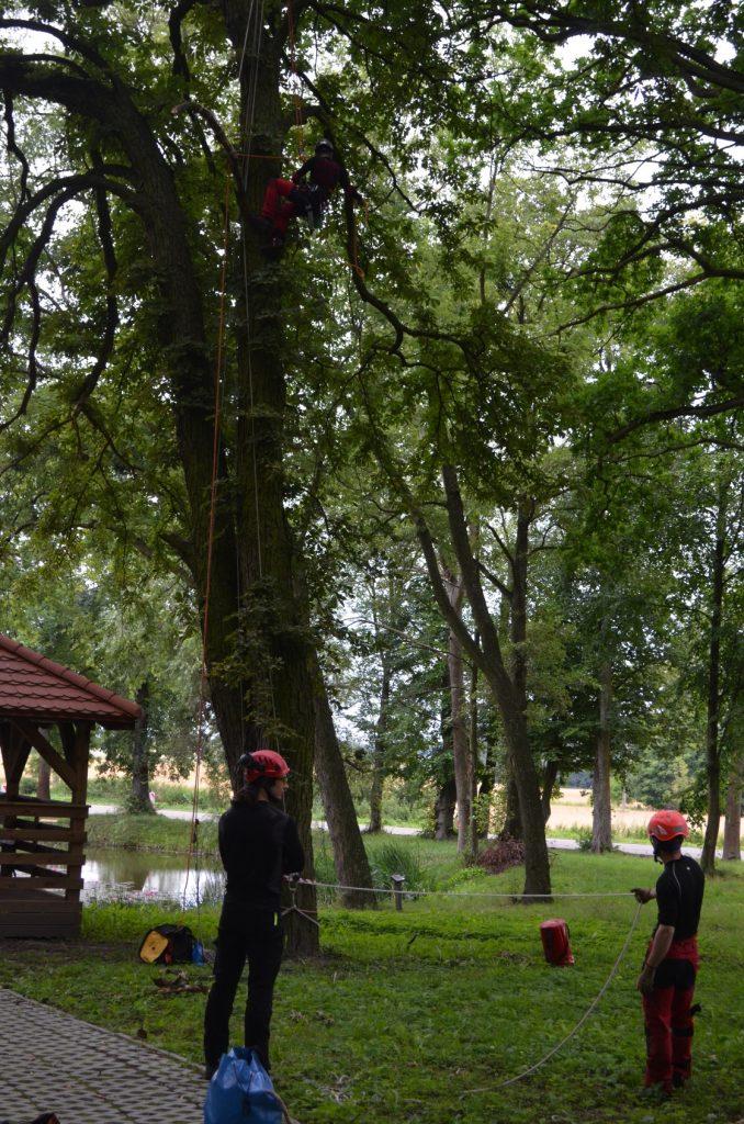 Arboryści przygotowujący liny przez rozpoczęciem prac pielęgnacyjnych