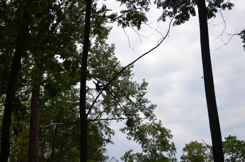 Arborysta na linach przemieszający się w górnej partii drzew