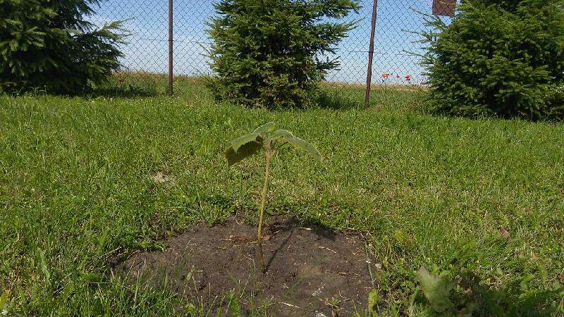Około 20 centymetrowa sadzonka drzewka z 6 liśćmi. W okół trawnik, w tle drzewka świerkowe rosnące wzdłuż ogrodzenia.